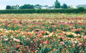 fryers rose field