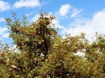 Summer Apple Tree