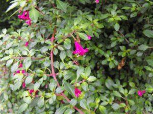 Fuchsia thymifolia