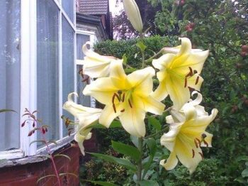 Tree Lilly Yellow