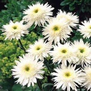 Shasta daisy wirral supreme