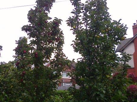 ballerina apple trees