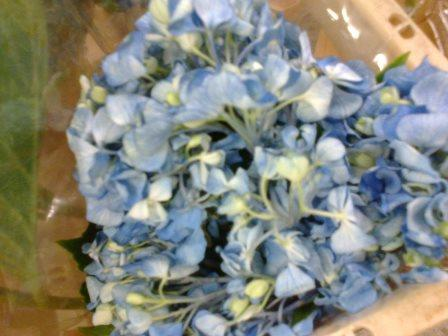 hydrangea bloom before hot water treatment