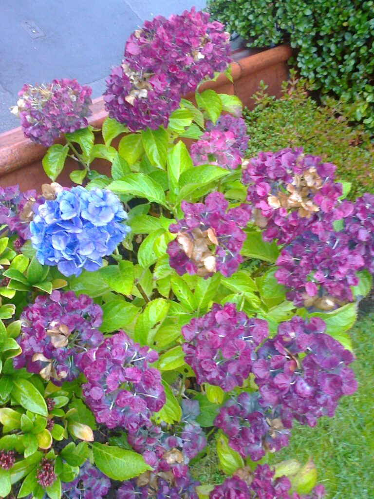 hydrangea-summer-bloom-amongst-the-autumn-ones