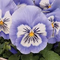 pansy mystique blue