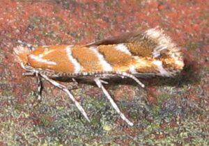 cameraria ohridella moth