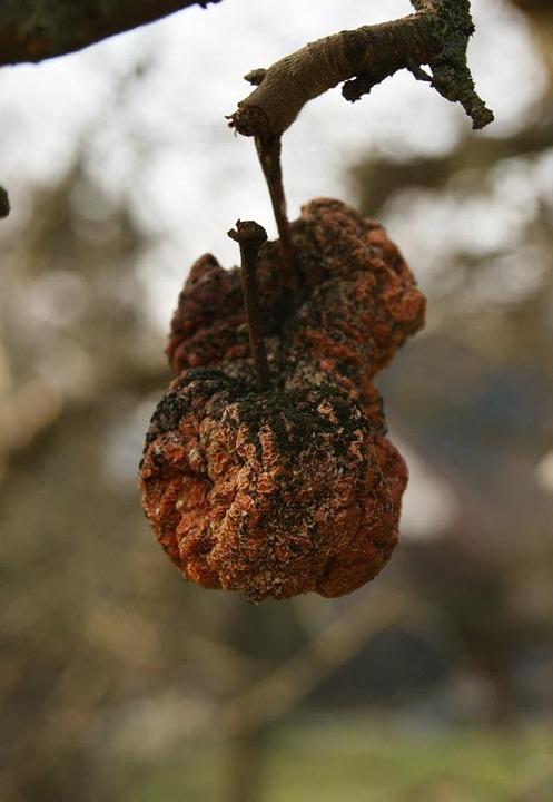 brown rot apple