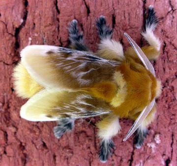 flannel-moth