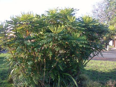 mahonia-japonica-bush