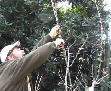 pruning-pear-tree