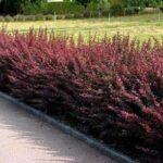 Berberis thunbergii 'Fireball' hedge