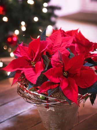 christmas-poinsettia