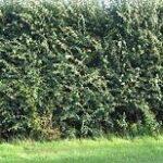 hawthorn hedge
