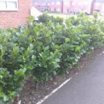 low growing laurel hedge