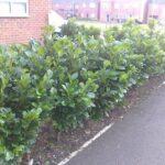 low growing laurel hedge