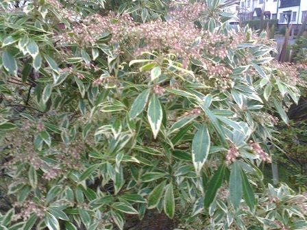 pieris-japonica-verigated