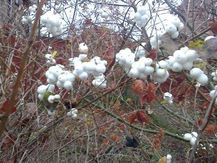 snowberrys