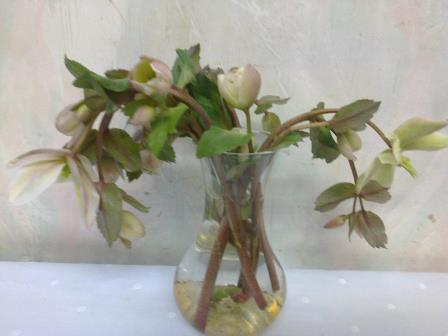 hellebore flower in vase