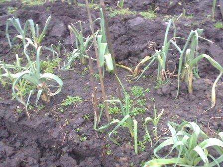 over wintered leeks growing on the allotment