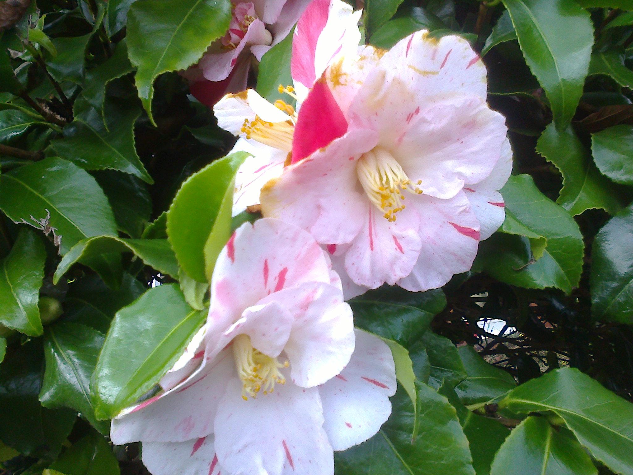 bi coloured semi double camellia
