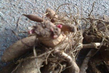dahlia tuber with bud