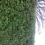 griselinia hedge