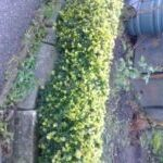 low growing buxus